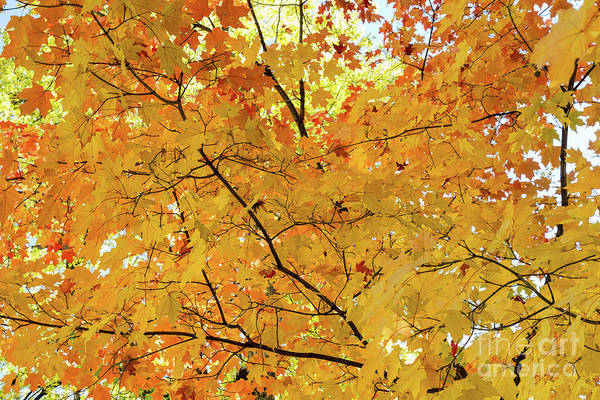 Photograph - Maple Tree Autumn Color Bliss by James BO Insogna
