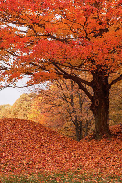 New England Autumn Photograph - Maple Tree Covered In Orange Foliage by Jeff Folger Of Vistaphotography