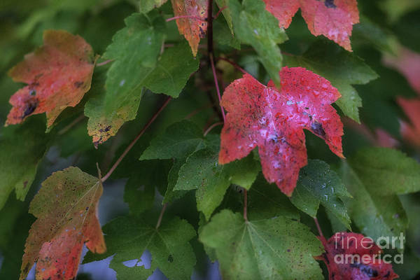 Photograph - Maple Tree - Fall Leaves by Dale Powell