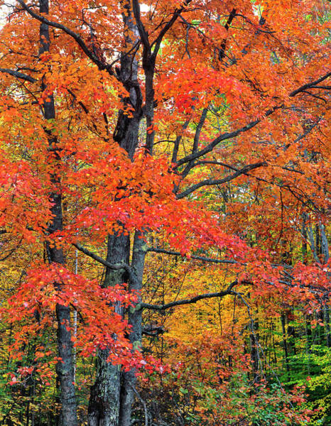 New Hampshire Photograph - Maple Tree In Belknap Mountains, New by Danita Delimont