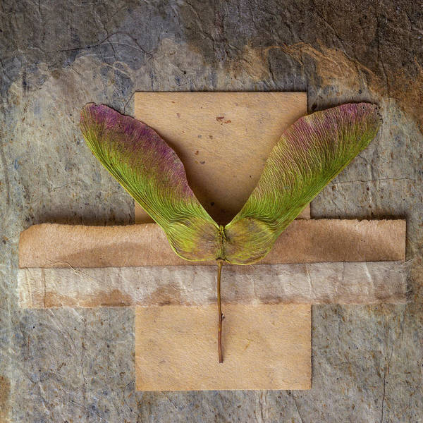 Wall Art - Photograph - Maple Tree Seed Pod by Carol Leigh