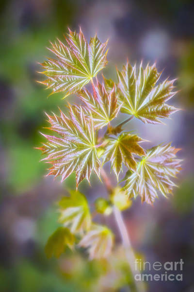 Wall Art - Photograph - Maple by Veikko Suikkanen
