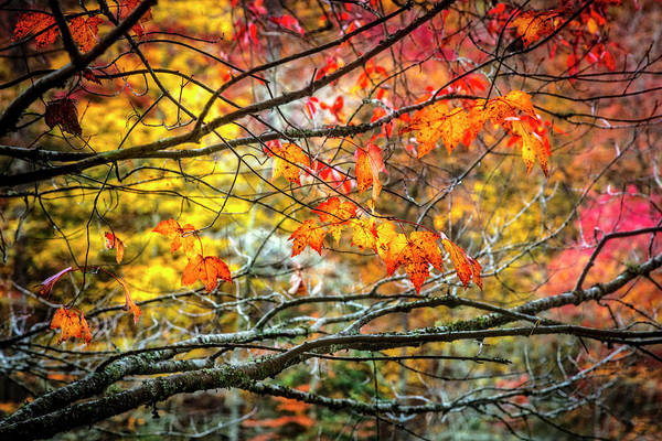Photograph - Maples Of Red And Gold by Debra and Dave Vanderlaan