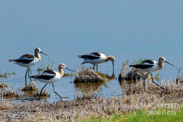 Wade Photograph - March Of The Avocets by Mike Dawson