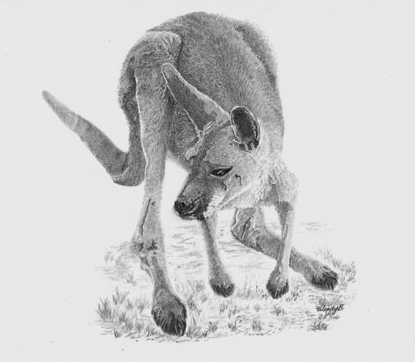 Kangaroo Drawing - Marco by Wendy Brunell