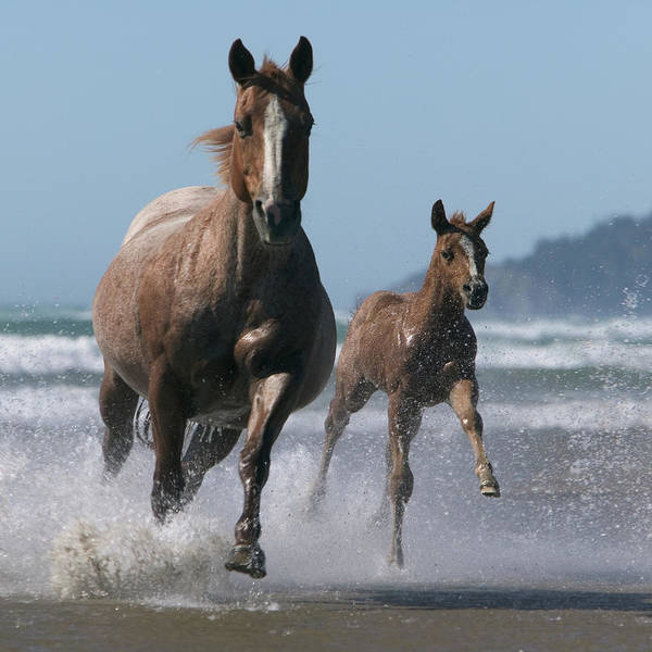 Mare Photograph - Mare And Foal Equus Caballus Running by John Giustina