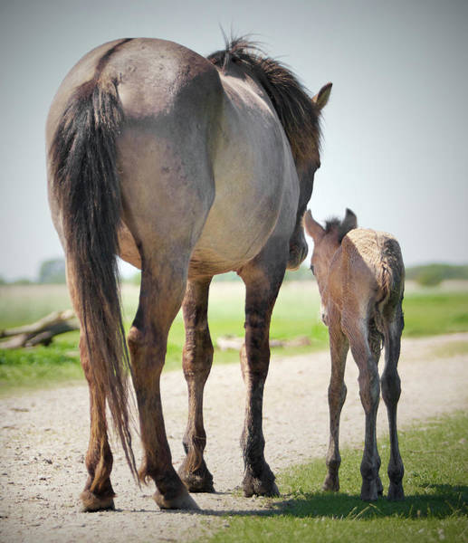 Mare Photograph - Mare And Foal On The Road by Focus on nature