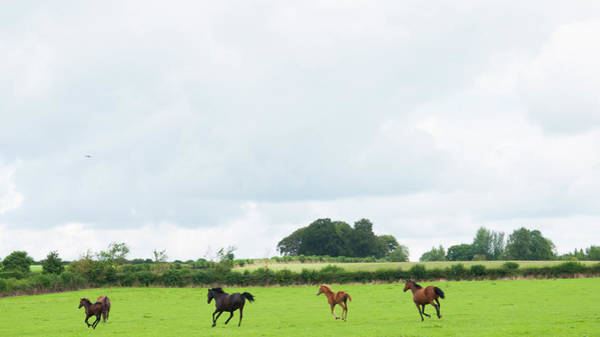 Mare Photograph - Mares And Foals Running In A Field by Leverstock