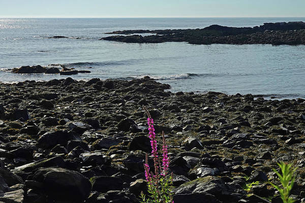 Wall Art - Photograph - Marginal Way Lupine Ogunquit Maine by Toby McGuire