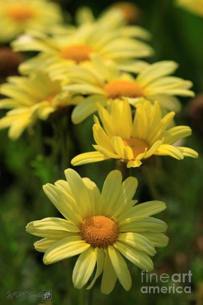 Wall Art - Photograph - Marguerite Daisy Named Cornish Gold by J McCombie