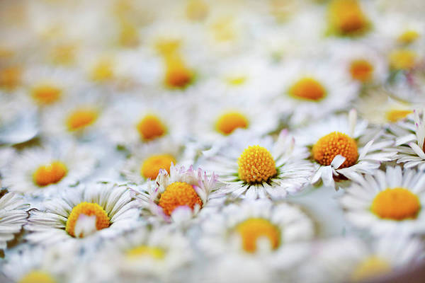 Photograph - Marguerite Flowers by Uccia photography