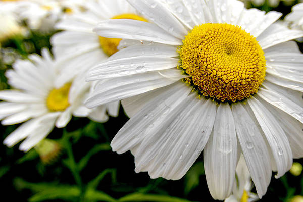 Wall Art - Photograph - Marguerite by Stelios Kleanthous