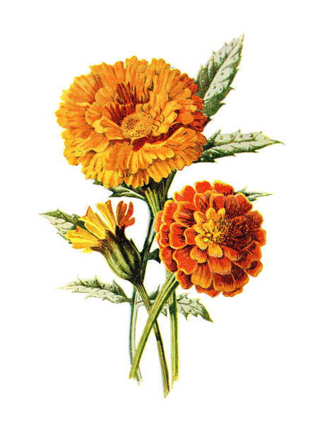 Mixed Media - Marigold Flower by Naxart Studio