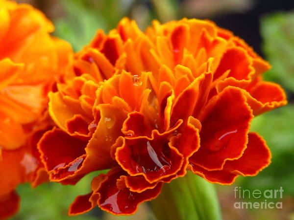 Photograph - Marigold by Robert Knight