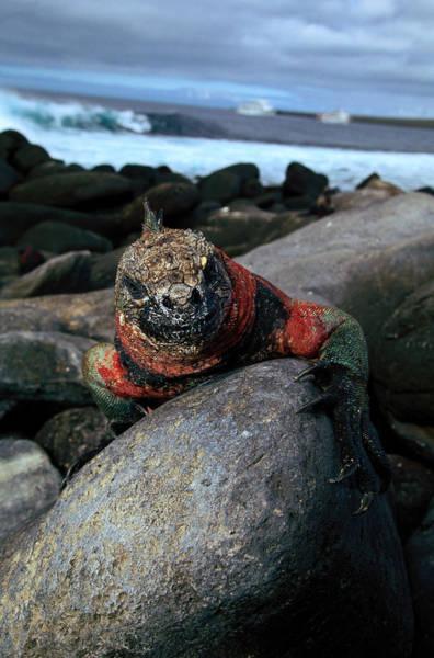 Ugliness Photograph - Marine Iguana Amblyrhynchus Cristatus by Art Wolfe