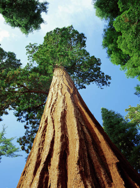 Sequoia Grove Photograph - Mariposa Grove Of Giant Sequoia Trees by Gavin Hellier / Robertharding