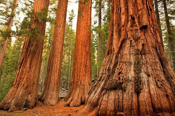 Sequoia Grove Photograph - Mariposa Grove Trees by Pgiam