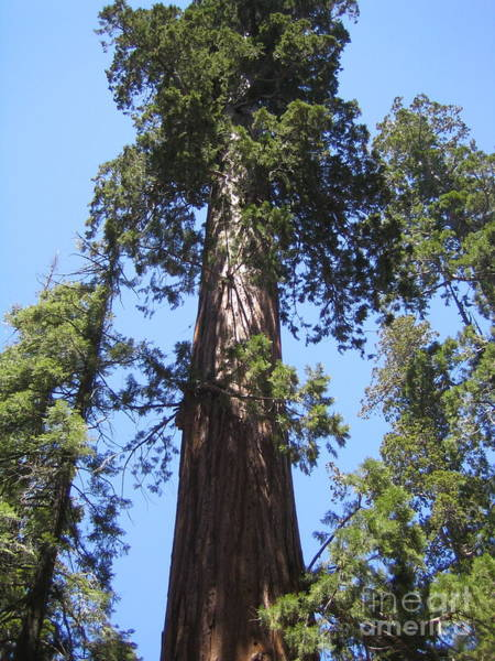 Photograph - Mariposa Old Tall Giant Tree Reaching The Blue Sky Yosemite National Park  by John Shiron
