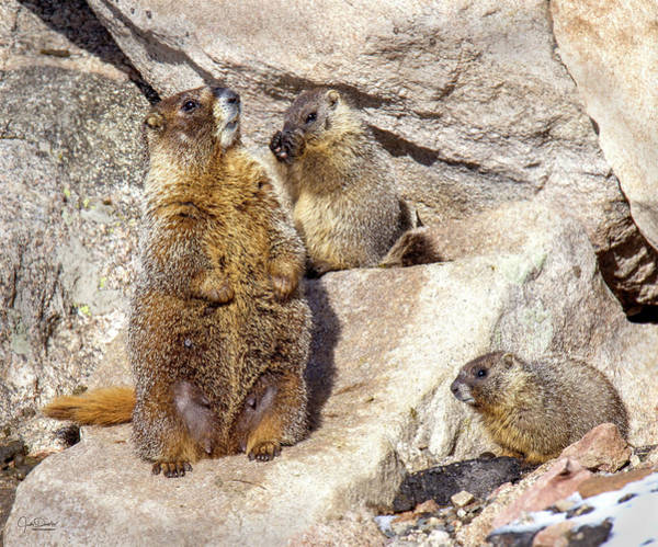 Photograph - Marmot Family Outing by Judi Dressler