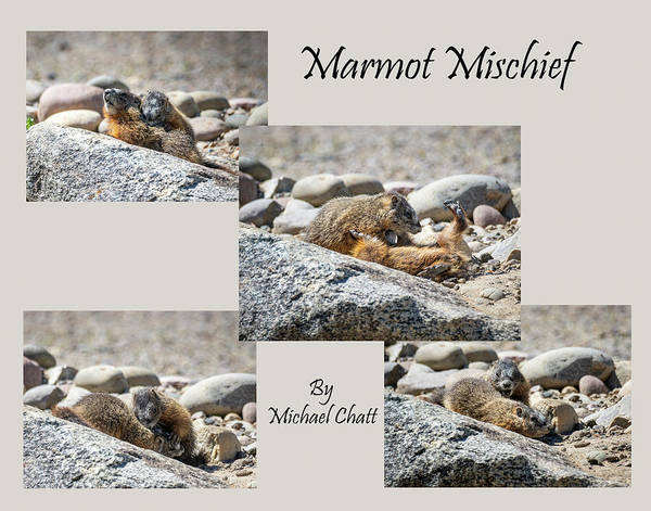 Photograph - Marmot Mischief For Smaller Sized Prints by Michael Chatt