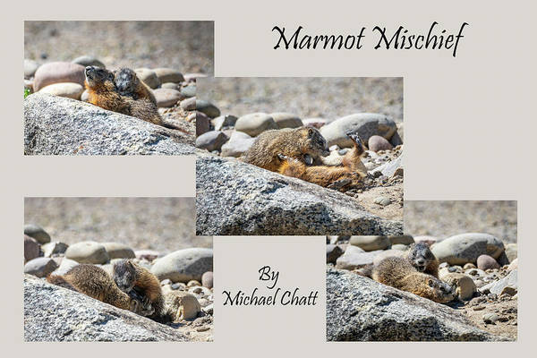 Photograph - Marmot Mischief For Larger Sized Prints by Michael Chatt