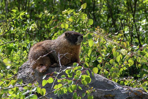 Photograph - Marmot On A Rock by Dan Friend