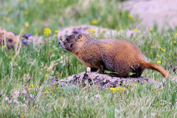 Wall Art - Photograph - Marmot On A Rock by Jeff Swan