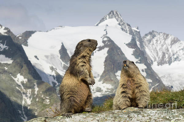 Photograph - Marmots In The Alps by Arterra Picture Library