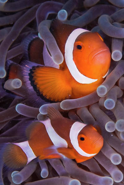 Urban Wildlife Photograph - Maroon Clown Fish Premnas Biaculeatus by Oxford Scientific