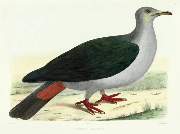 Imperial Painting - Marquesan Imperial Pigeon by Charles Lucien Bonaparte
