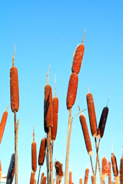 Wall Art - Photograph - Marsh Bulrush On Celestial Background by Basel101658
