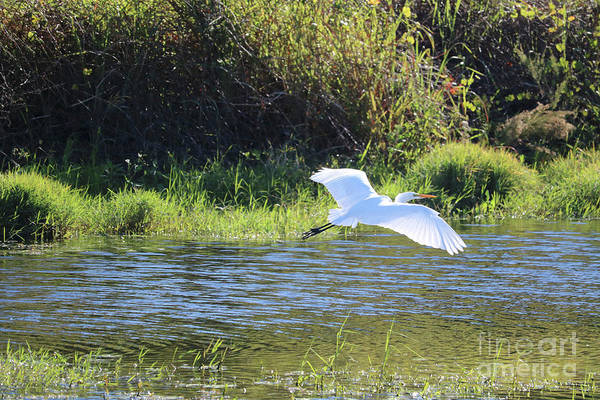 Wall Art - Photograph - Marsh Day With Great Egret by Carol Groenen