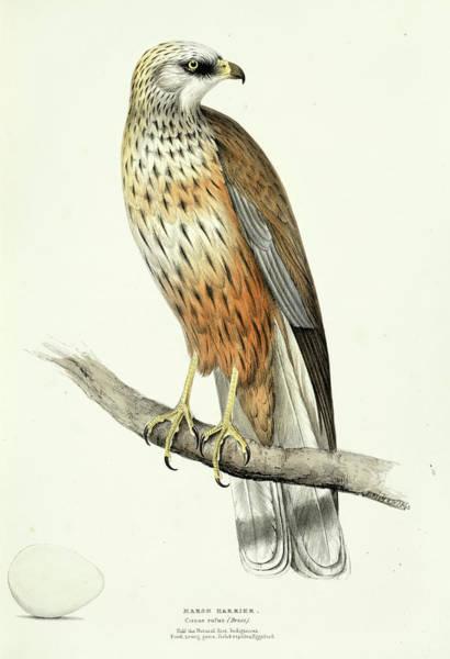 Marsh Bird Painting - Marsh Harrier by Henry Leonard Meyer