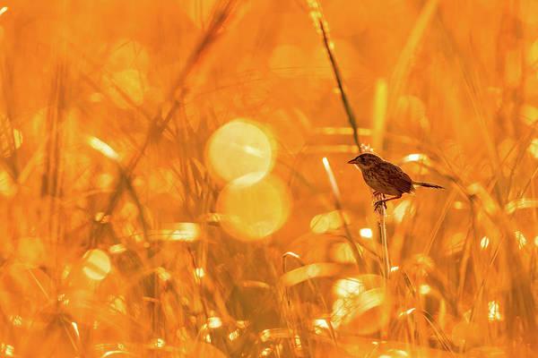 Marsh Sparrow Art Print