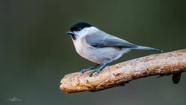 Photograph - Marsh Tit On The Old Pine Branch by Torbjorn Swenelius