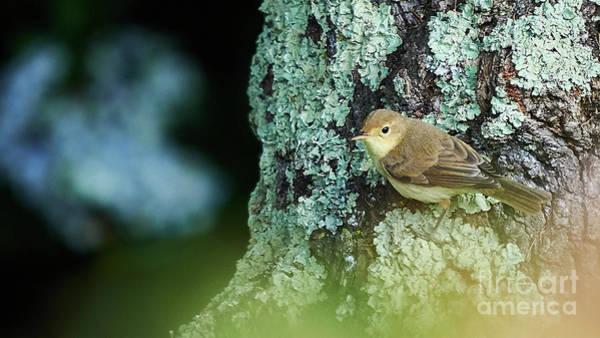 Photograph - Marsh Warbler Acrocephalus Palustris by Pablo Avanzini