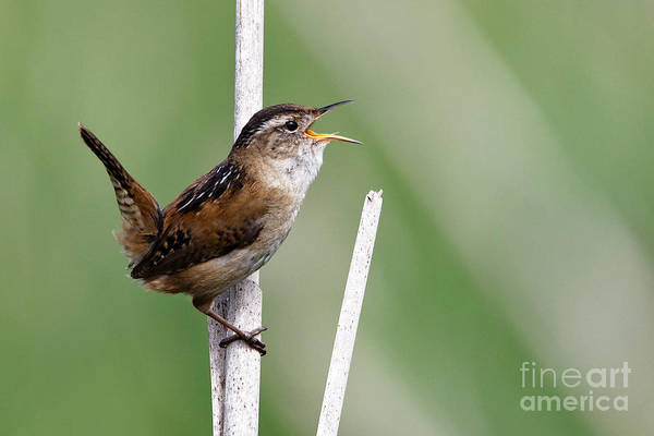 Photograph - Marsh Wren April 1 by Sue Harper