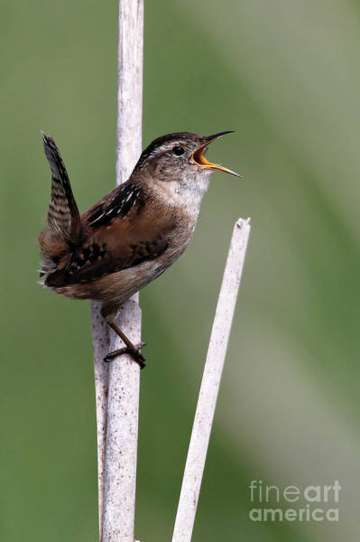 Photograph - Marsh Wren April 2 by Sue Harper