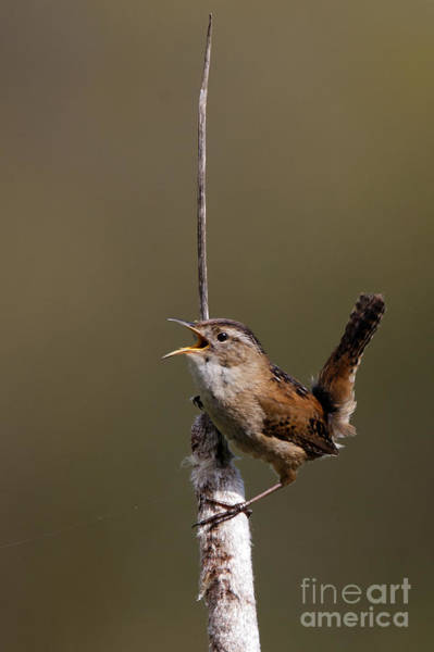 Photograph - Marsh Wren April 3 by Sue Harper