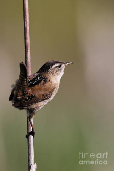 Photograph - Marsh Wren April 4 by Sue Harper