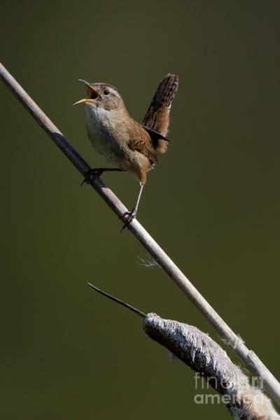 Photograph - Marsh Wren April 5 by Sue Harper