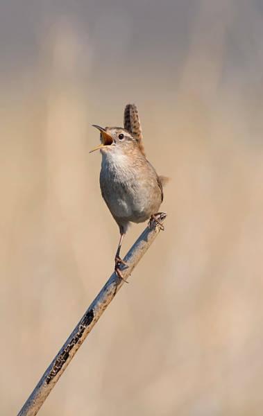 Photograph - Marsh Wren Singing by Loree Johnson