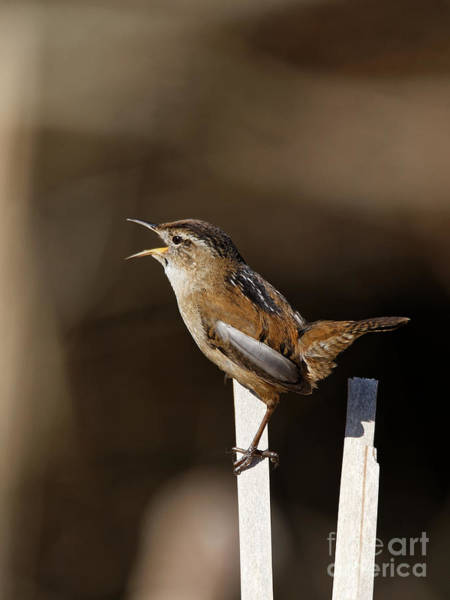Photograph - Marsh Wren The Singer 2 by Sue Harper