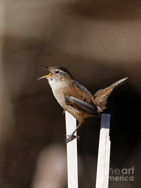 Photograph - Marsh Wren The Singer by Sue Harper