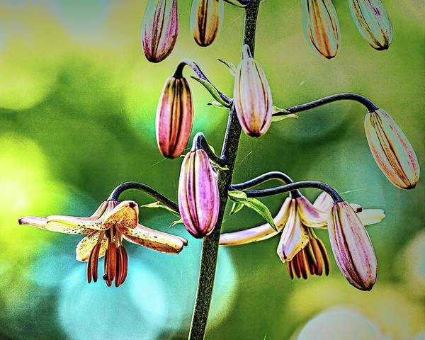 Photograph -  Martagon Lily #i8 by Leif Sohlman