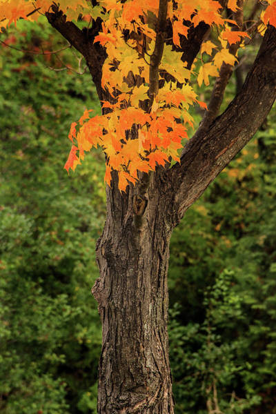 Photograph - Maryland Autumn Tree by Don Johnson