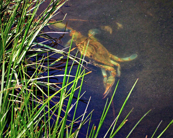 Photograph - Maryland Blue Crab Lurking In An Assateague Marsh by Bill Swartwout Photography