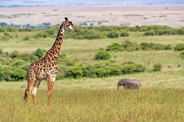 Wall Art - Photograph - Masai Giraffe And Elephant In Kenya Africa by Susan Schmitz