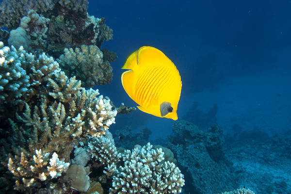Pisces Photograph - Masked Butterfly Fish, Chaetodon by Oxford Scientific