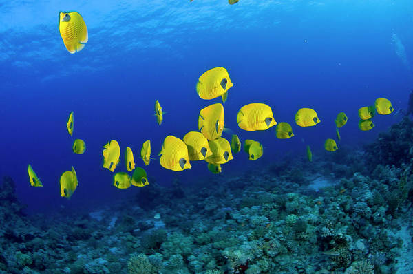Underwater Scene Photograph - Masked Butterfly Fish by Mark Webster